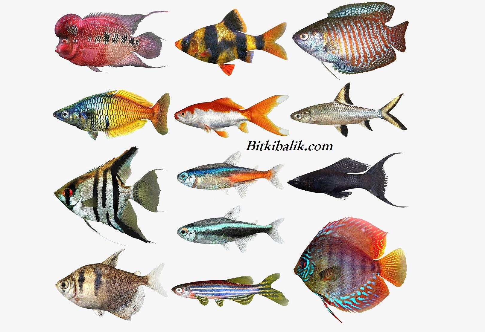 Tatlı Su Akvaryum Balık Çeşitleri