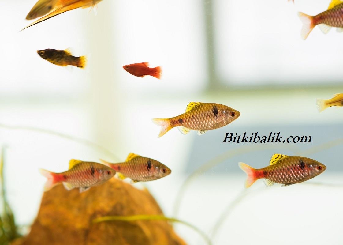 Tatlı Su Akvaryumu Balık Çeşitleri