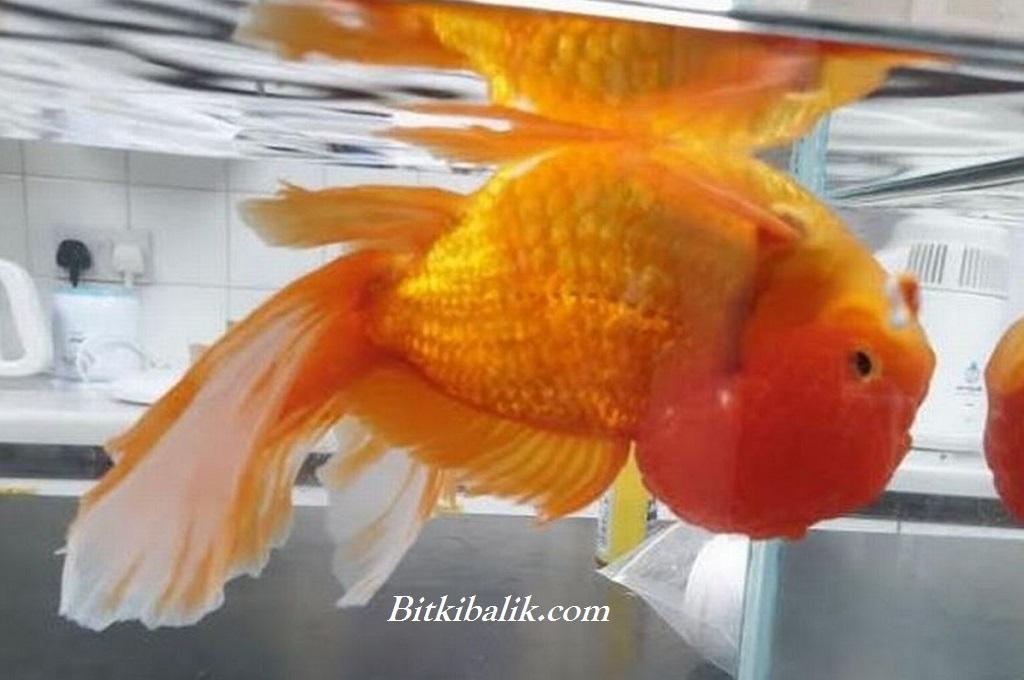 Ters Yüzen Japon Balığı