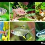 Tetra Balığı Çeşitleri