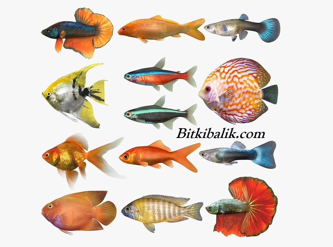 Tropikal Balık Çeşitleri