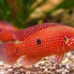 Akvaryum Mücevher Balığı