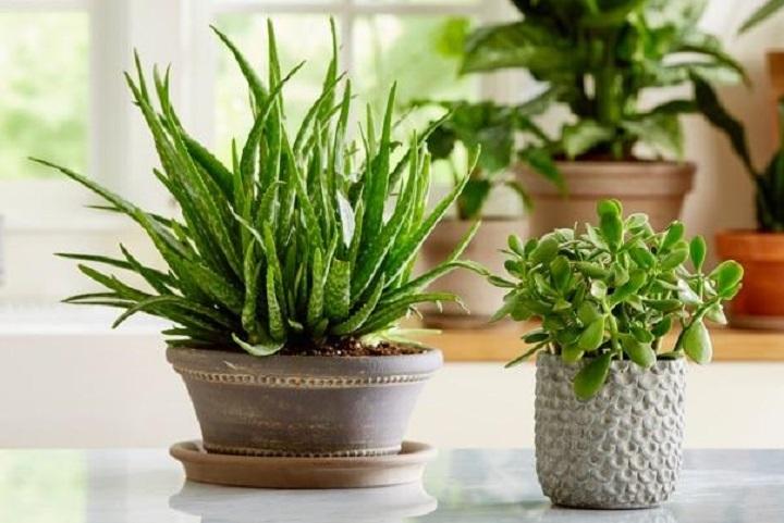 Aloe Vera En Popüler Türdür