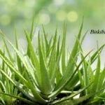 Aloe Vera Yetiştirmenin Püf Noktaları