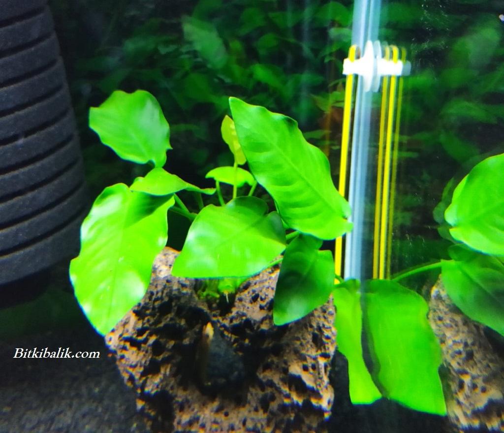 Bitkili Akvaryumda Anubias Dekoru