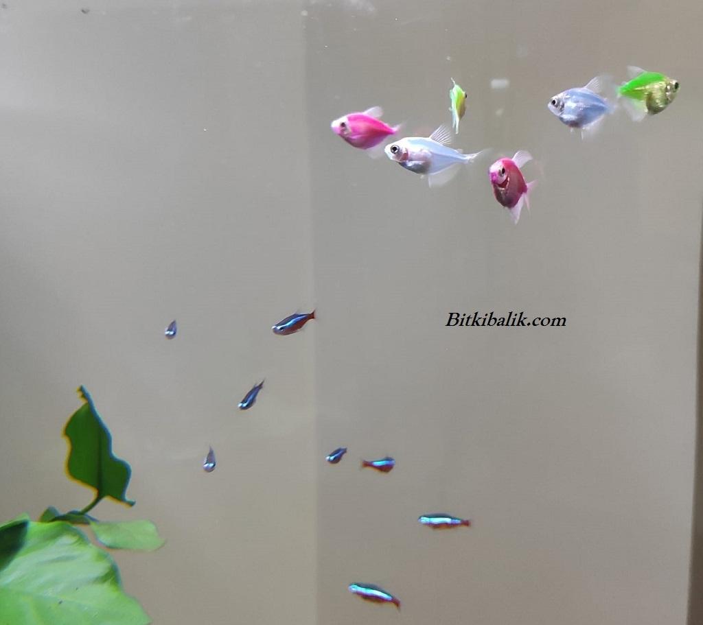 Bitkili Transgenetik Tetra Balığı Akvaryumu