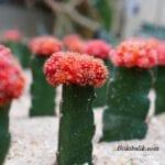 Çiçek Açan Kaktüsler