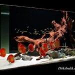 Discus Balığı Akvaryumu Nasıl Olmalı