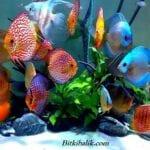 Discus Balığı Hangi Balıklarla Yaşar
