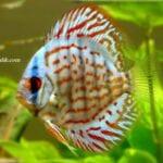 Discus Balığı Hasta Yem Yemiyor