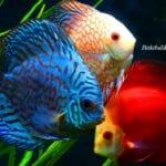 Discus Balığı Türleri