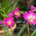 Doğada Orkideler