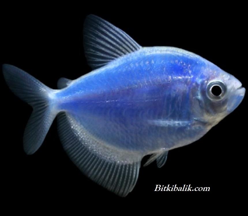 Mavi Trans genetik Tetra