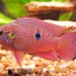 Mücevher Balığı Özellikleri