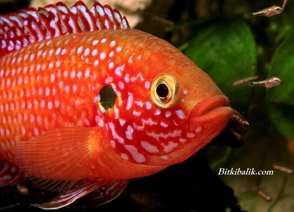 Mücevher Balığı Yavruları Ne Kadar Zamanda Büyür