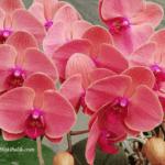 Orkide Çiçeği Nasıl Çoğaltılır