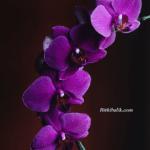 Orkideler Nasıl Sulanır