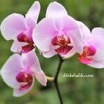 Orkideler ne kadar