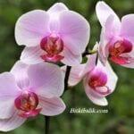 Orkideler ne zaman çiçek açar