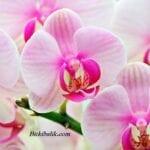 Orkidelere Nasıl Bakılır