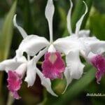 Phalaenopsis Orkide Ne Demek
