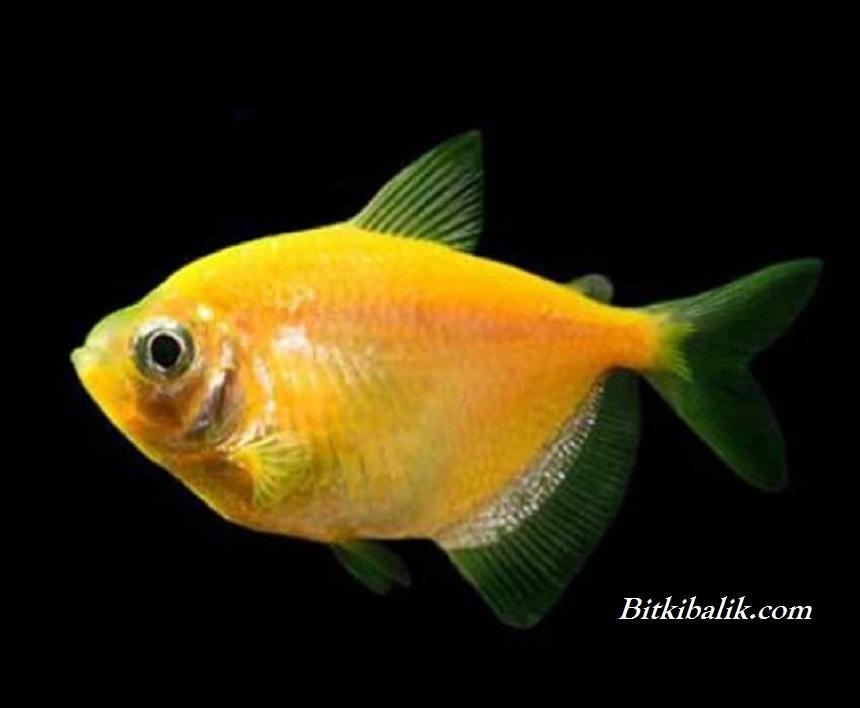 Sarı Trans genetik Tetra