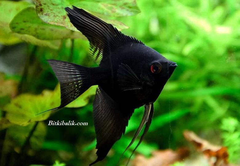 Siyah Pterophyllum scalare
