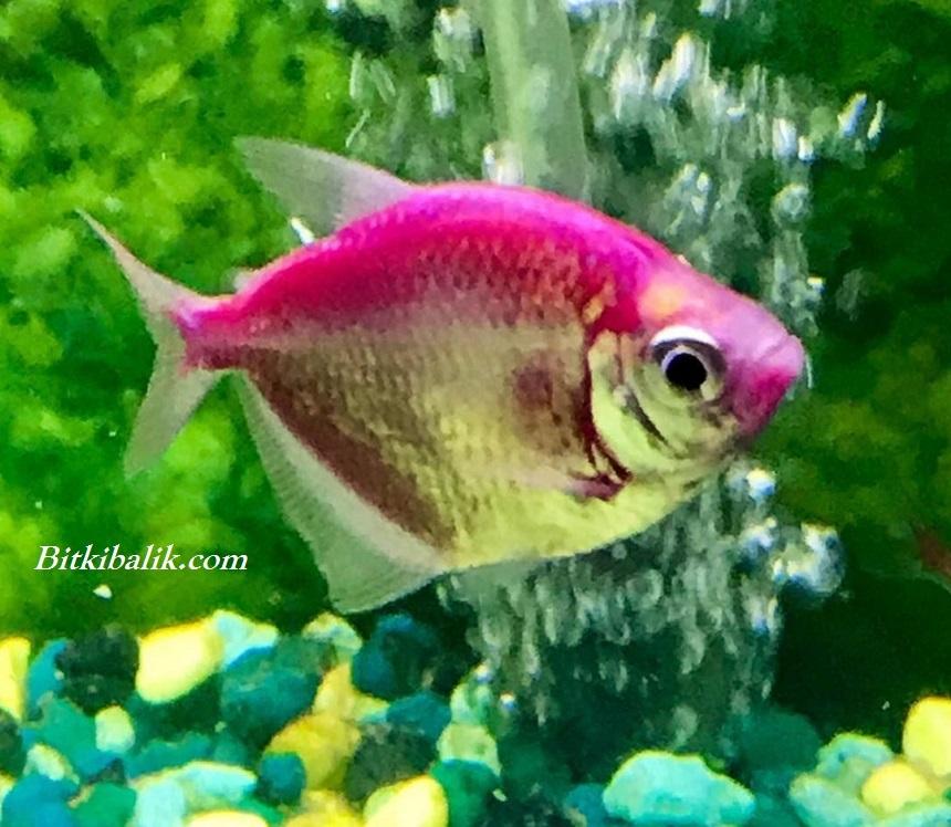 Trans Genetik Tetra Balığı