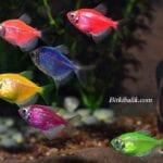 Transgenetik Tetra Balığı Renkleri