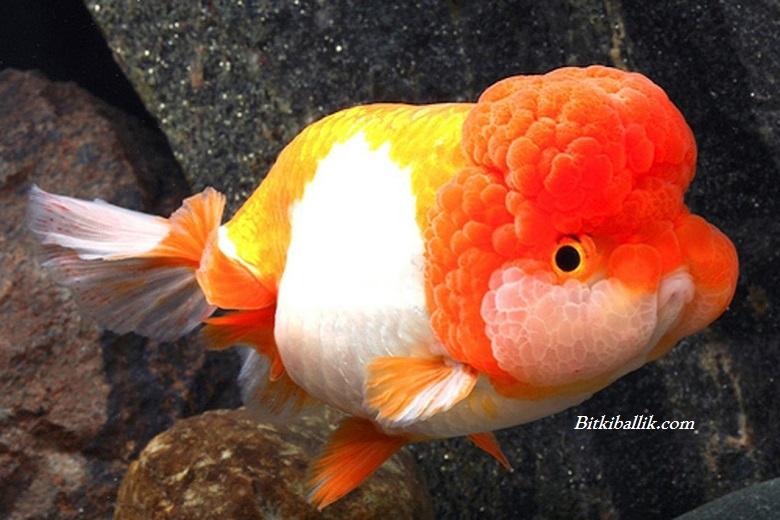 Aslanbaş Japon Balığı Fiyatı
