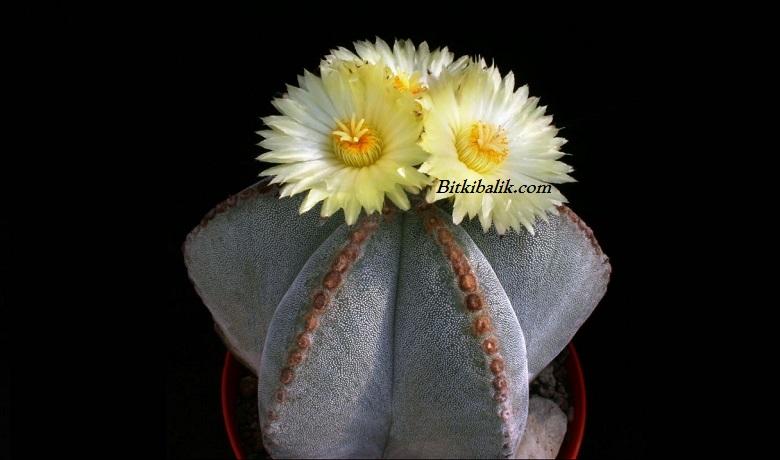 Astrophytum Myriostigma - Yıldız Kaktüs