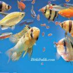 Balıklara Kaf Defa Yem Verilmeli