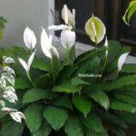 Barış Çiçeği Ayırma