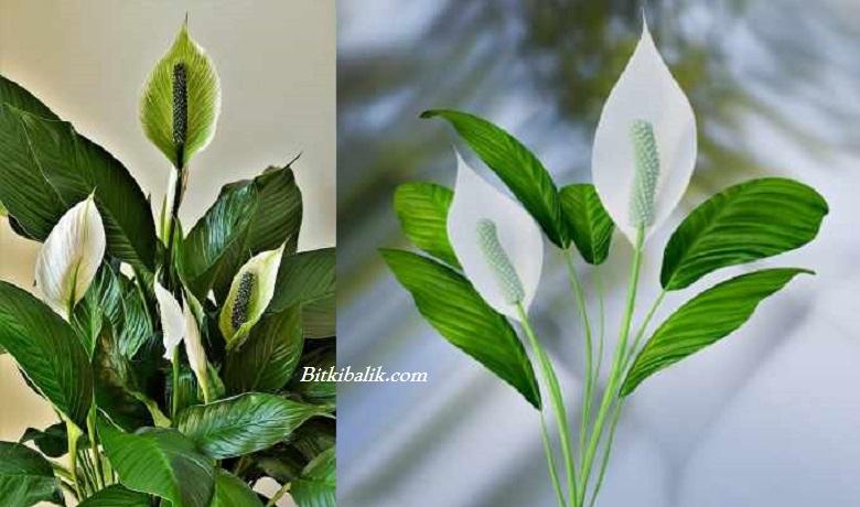 Barış Çiçeği Çeşitleri