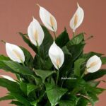 Barış Çiçeği Zehirli mi