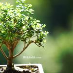 Bonsai Ağacı Aşılaması Nasıl Yapılır