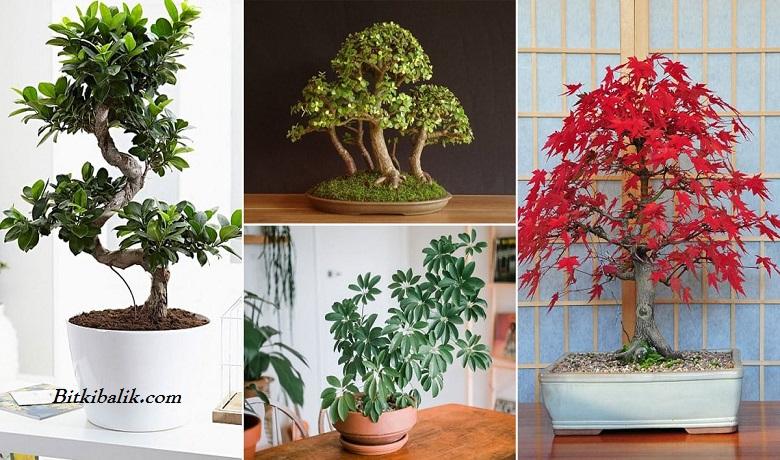 Bonsai Ağacı Çeşitleri