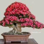Bonsai Çiçeği Çoğaltma