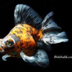 Calico Teleskop Japon Balığı
