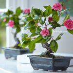 Çiçekli Bonsai Bitkisi