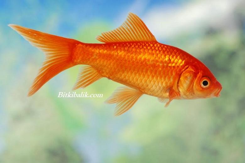 Common Japon Balığı Fiyatı
