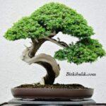 Dekoratif Küçük Ağaç