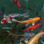 Havuzda Koi Balığı