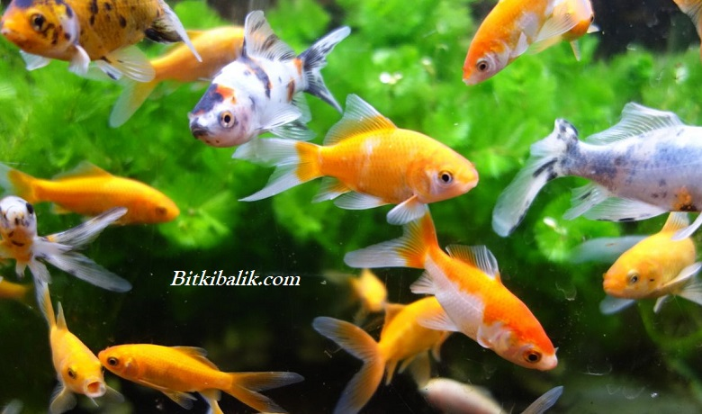 Japon Balığı Kolonisi