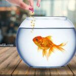 Japon Balıkları Günde Kaç Defa Beslenir