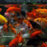Karışık Japon Balığı Akvaryumu
