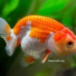 Kısa Kuyruklu Ranchu Japon Balığı