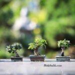 Küçük Saksılı Ağaçlar