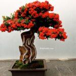 Minyatür Üvez Ağacı