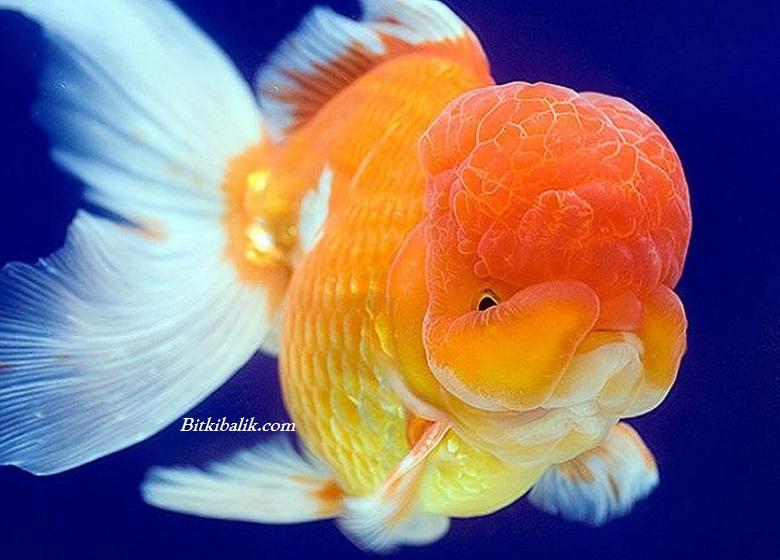 Oranda Japon Balığı Fiyatı